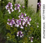 Small photo of Dainty small two lipped spire blooms of annual nemesia flowering in winter add charming soft pink and white color to a drab garden landscape.