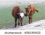 young bulls  calves cute at the ...   Shutterstock . vector #458190433