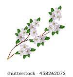 Flowering Branch Of Apple...