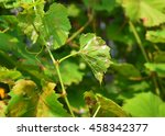 Small photo of Grape Powdery Mildew. Powdery mildew is a fungal disease that affects a wide range of plants. Grapevine diseases.