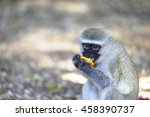 Small photo of Vervet monkey (Cercopithecus aethiops) eating a piece of a stolen orange in Kruger National Park. Monkeys, baboons etc soon become acclimatized when fed scraps by humans. conflict becomes inevitable.