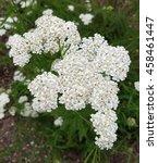 Small photo of Yarrow; Achillea; millefolium; knows; Weed