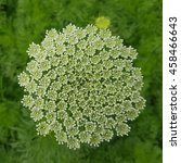 Small photo of Bishop herb; ivisnaga; Ammi; Khella