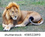 Lion Close Up By Tanzania...
