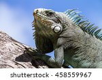 Green Iguana Lizard  Tropical...
