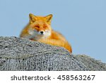 Fox Lying On The Fishing Net...