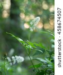Small photo of Blooming baneberry, Actaea spicata