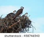 Mother Osprey Watches Over Her...