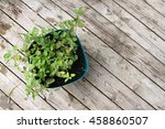 fragrant  green greek oregano... | Shutterstock . vector #458860507