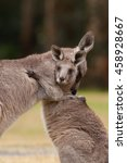 Small photo of Kangaroo mother being affectionate to baby