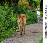 Baby Cow Standing On The Road