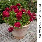Red Pelargonium In A Terracott...