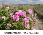 Stock photo  pink damask rose bush closeup on field background local focus shallow dof 459763633