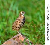 beautiful bird  rain quail bird ... | Shutterstock . vector #459768793