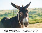 Close Up Of A Donkey On A...
