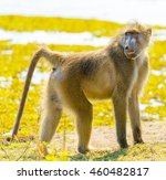 cape baboon or chacma baboon in ... | Shutterstock . vector #460482817