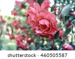 Stock photo selective focus an image of pink rose garden in vintage color 460505587