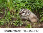 Small photo of North American Badger (Taxidea taxus) Snarls Up Out of Den - captive animal