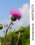 Small photo of Melancholy thistle (Cirsium Heterophyllum)