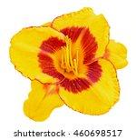 Yellow Daylily  Hemerocallis ...