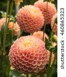 orange dahlia | Shutterstock . vector #460865323