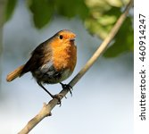 a european robin perched on a... | Shutterstock . vector #460914247