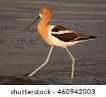 Small photo of An American Avocet striding boldly along the edge of a lake in Colorado