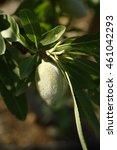 Small photo of Almond tree