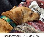 sleepy dog in lap | Shutterstock . vector #461359147