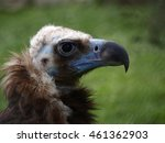 the cinereous vulture  aegypius ... | Shutterstock . vector #461362903