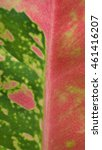 Small photo of Red and Green Aglaonema Texture Leaf