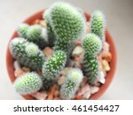 Small photo of Top view young cactus on potted plant strewn with pebbles and blurred green tree in garden background, opuntia microdasys albispina or albata