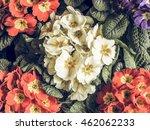 vintage faded primrose aka... | Shutterstock . vector #462062233
