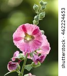 Small photo of Blooming Hollyhock flower, Alcea setosa