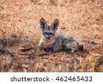 A Bat Eared Fox In Savanna In...
