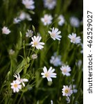 Small photo of Stellaria holostea, the addersmeat or greater stitchwort, is a perennial herbaceous flowering plant in the carnation family Caryophyllaceae.
