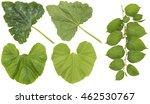 Huge Green  Leaves Of Garden...