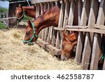 Young Horses Eating Dry Hay At...
