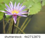 Small photo of Nymphaea odorata, also known as the American white waterlily, beaver root, fragrant white water lily . It can commonly be found in shallow lakes, ponds.