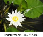 Small photo of Nymphaea odorata, also known as the American white waterlily,fragrant water-lily, beaver root, , is an aquatic plant .It can commonly be found in shallow lakes, ponds.