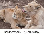 Lion And Lioness Sharing A...