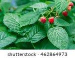 Lots Of Red Ripe Raspberries O...