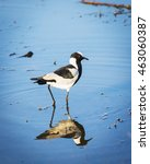 Small photo of African Pied Wagtail bird walking on the water on the Chobe River, Botswana, Africa