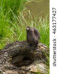 Small photo of Adult American Mink (Neovison vison) Looks Up - captive animal