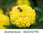 Small photo of Macro view of one honeybee (Apis mellifera) alighted on a blooming yellow flower