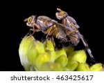 Small photo of Fruit Fly Tephritidae copulating