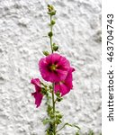 Small photo of Hollyhock (Alcea) Flowering in Southwold Suffolk