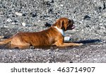 One Dog Breed German Boxer In...