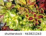 Coleus  Also Called Painted...
