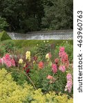 Small photo of Herbaceous Border of Colourful Snapdragons (Antirrhinum) and Lady's Mantle (Alchemilla mollis) in a Country Cottage Garden in Somerset, England, UK